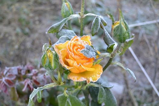 роза_0926