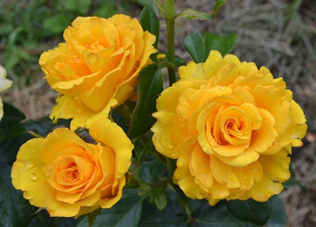 роза_0235