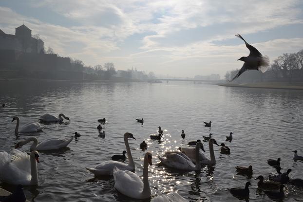лебеди_0211