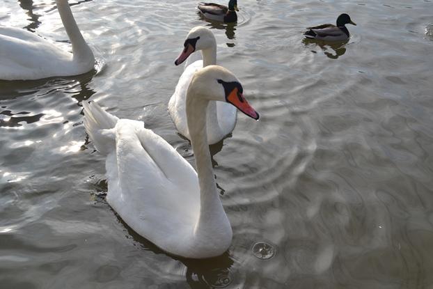 лебеди_0213