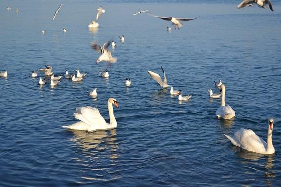 лебеди_0564