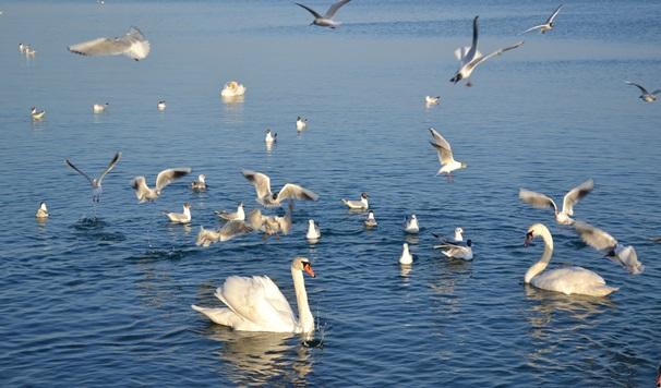 лебеди_0565