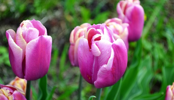 тюльпаны_0686