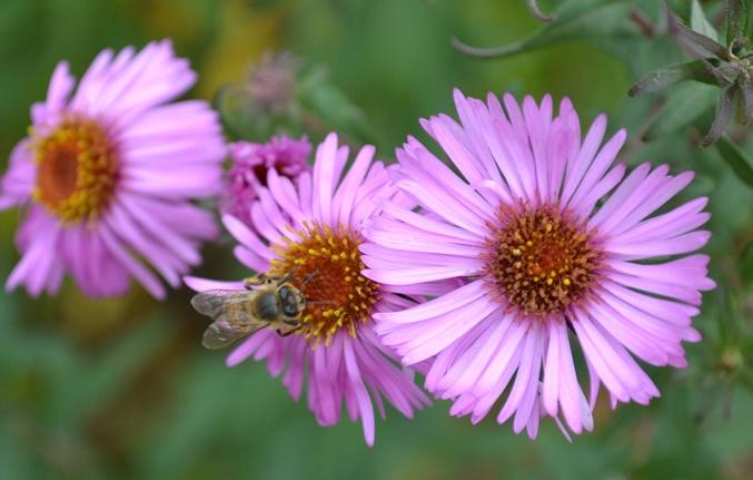 пчела_0198