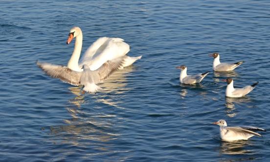 крым лебеди_0567