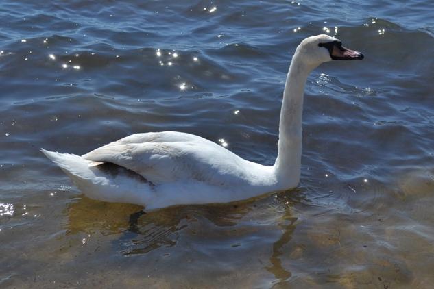 лебедь_0086