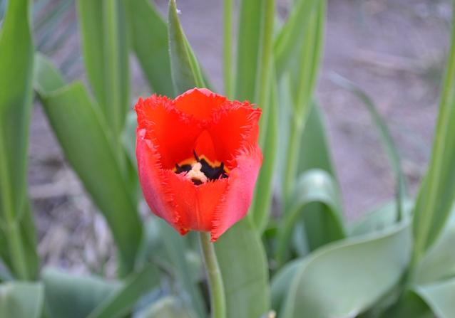 тюльпан_0124