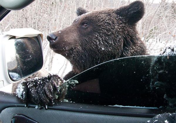 медведи на улицах