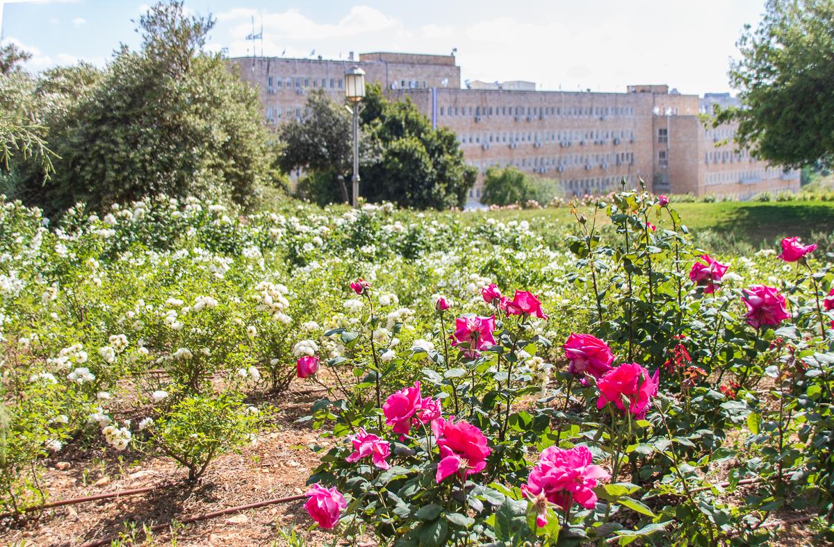 Jerusalem_rozy_015.jpg