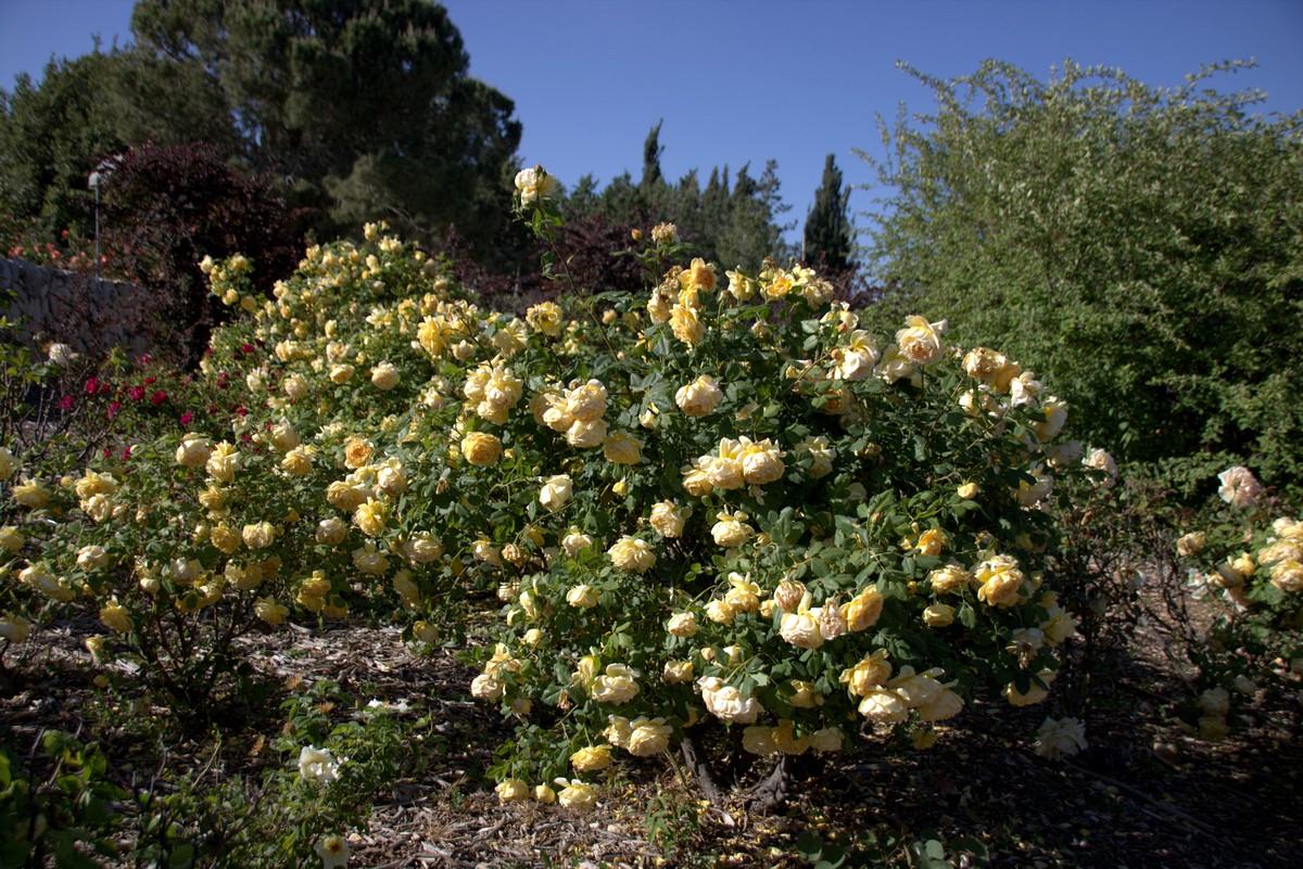Jerusalem_rozy_021.jpg