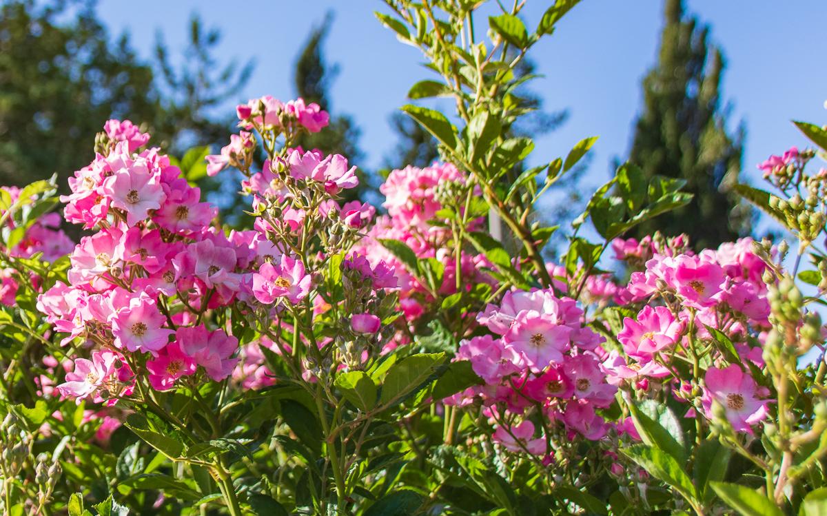 Jerusalem_rozy_024.jpg