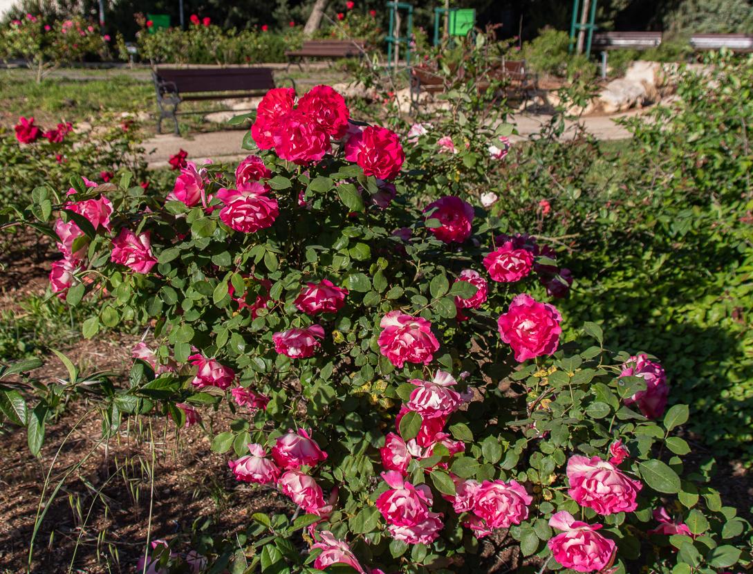 Jerusalem_rozy_085.jpg