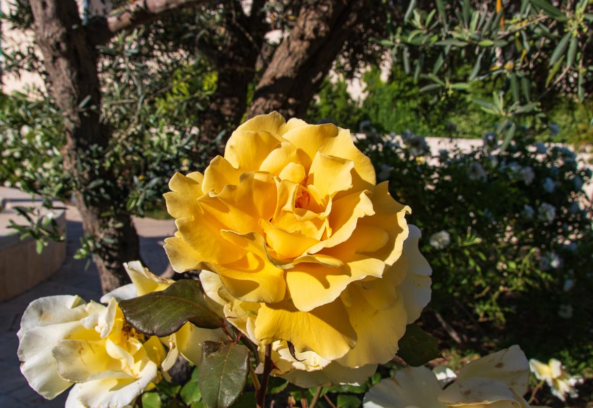 Jerusalem_rozy_103.jpg
