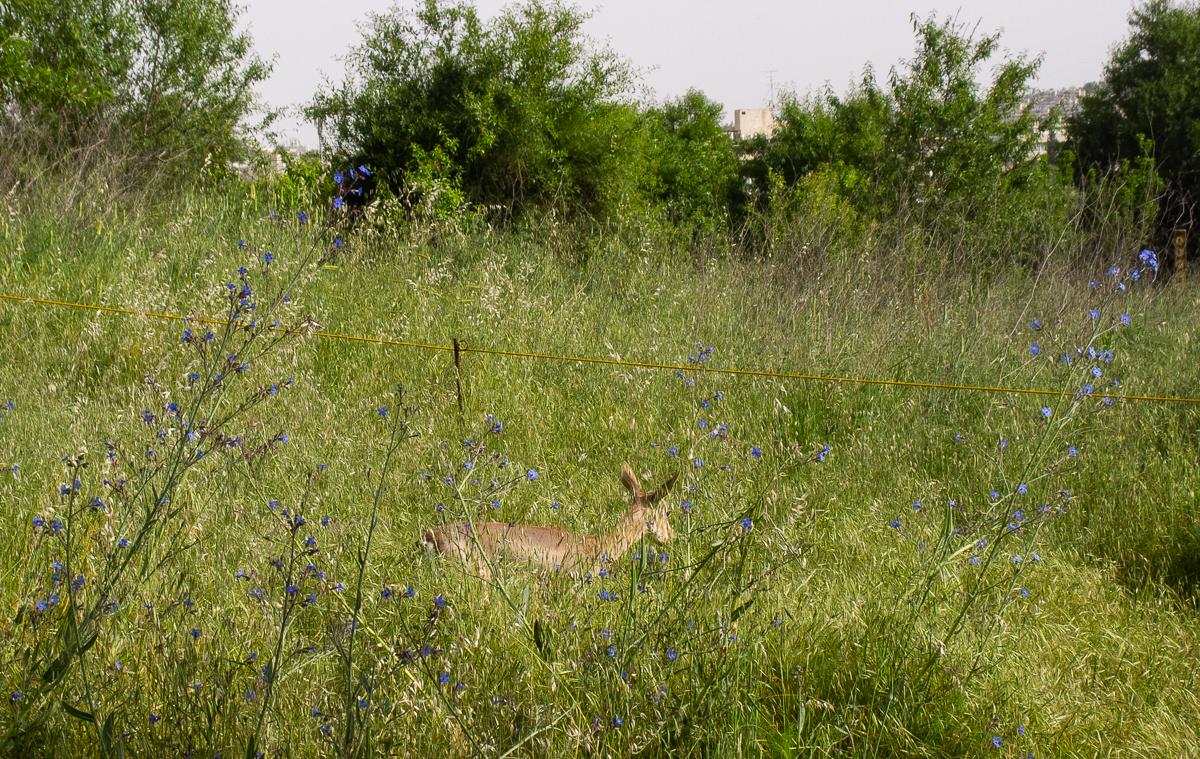 Олений парк в сердце Иерусалима Cervo_park_001.jpg