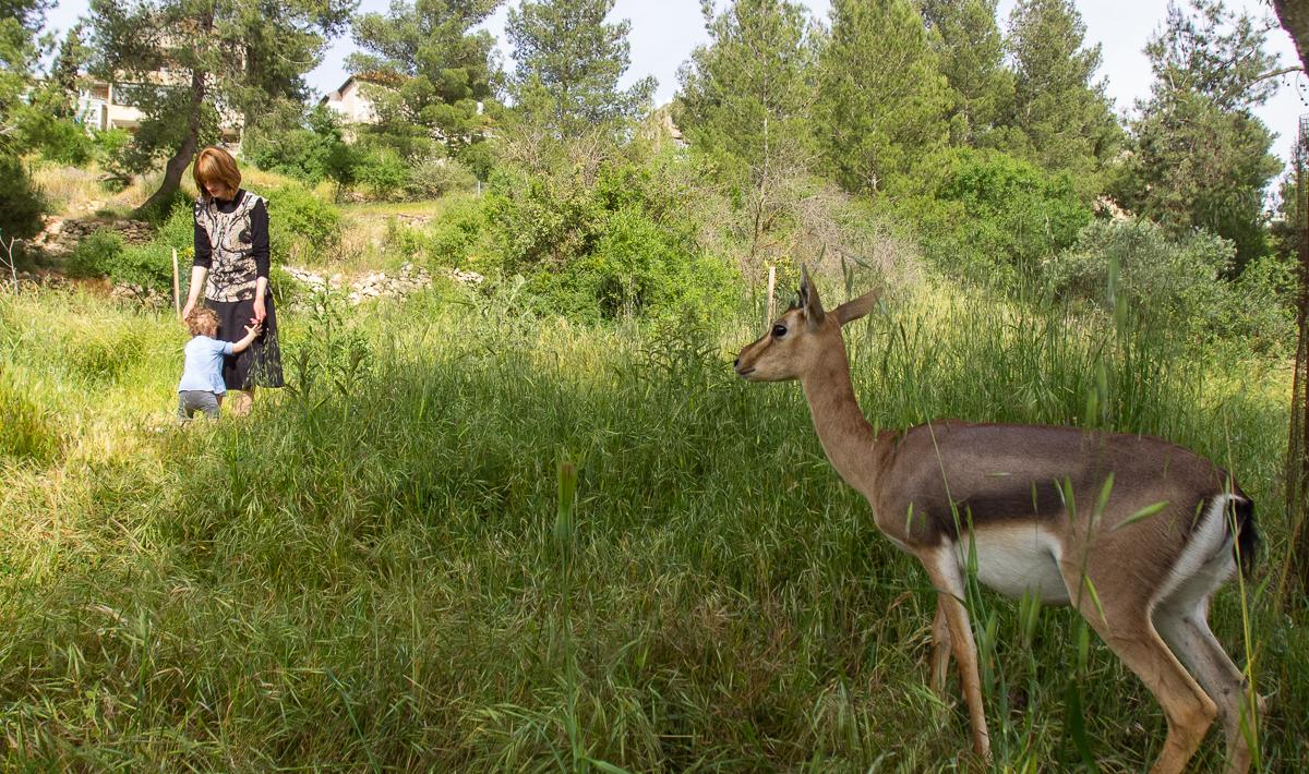 Олений парк в сердце Иерусалима Cervo_park_059.jpg