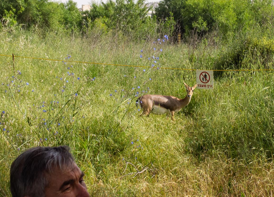 Олений парк в сердце Иерусалима Cervo_park_060.jpg
