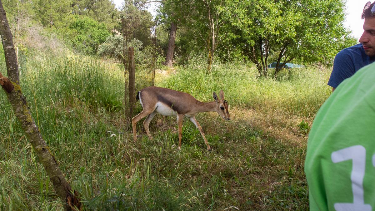 Олений парк в сердце Иерусалима Cervo_park_061.jpg