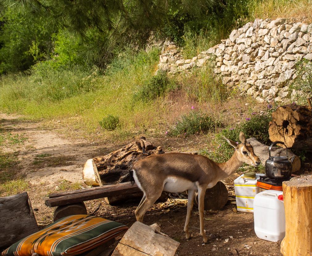 Олений парк в сердце Иерусалима Cervo_park_064.jpg