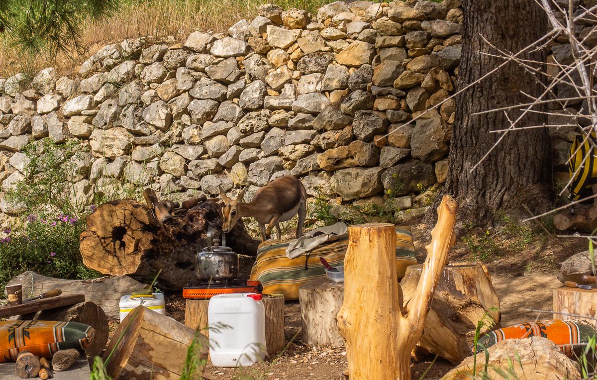 Олений парк в сердце Иерусалима Cervo_park_066.jpg