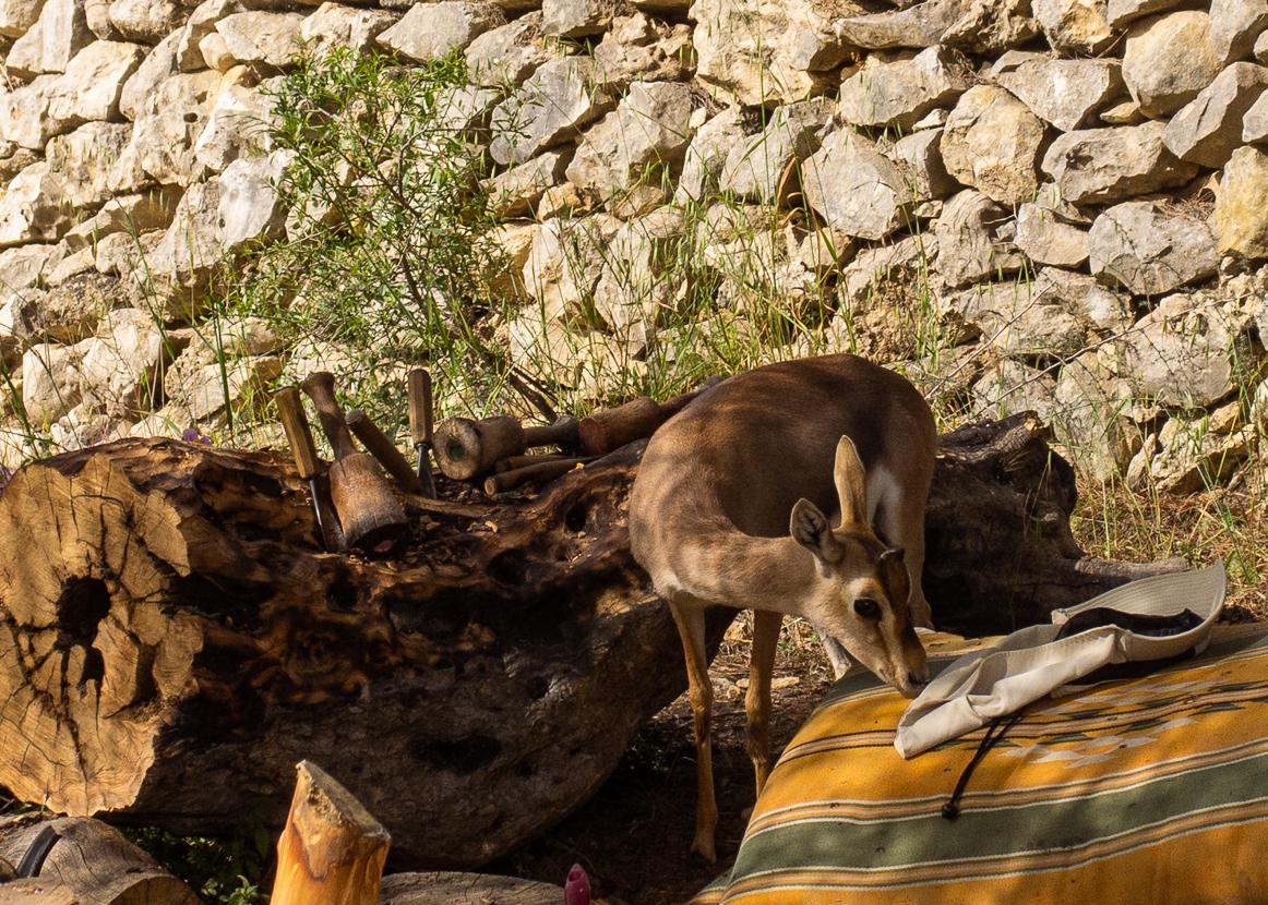 Олений парк в сердце Иерусалима Cervo_park_067.jpg