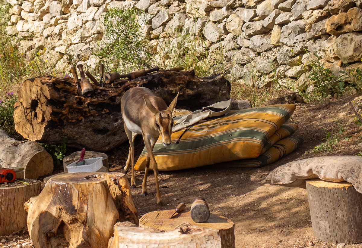 Олений парк в сердце Иерусалима Cervo_park_068.jpg