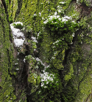 snow-dust-moss-bark