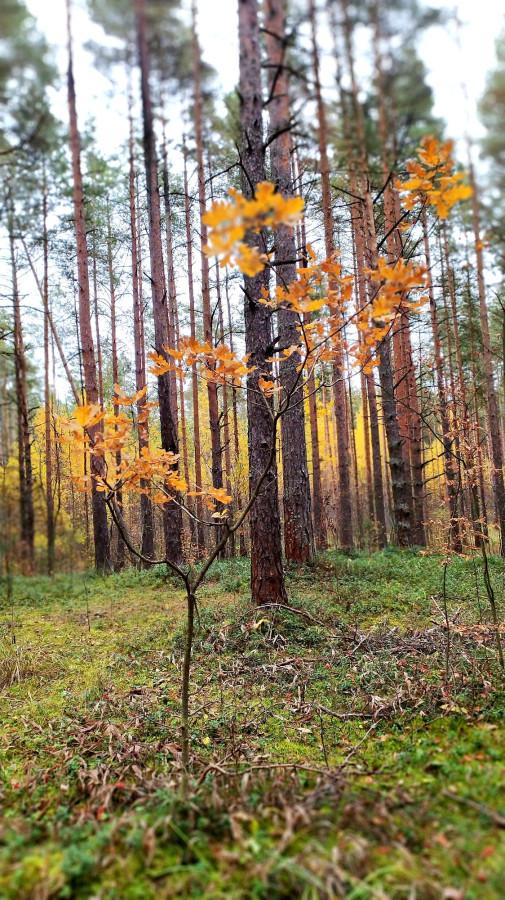 Юный дубок в золоте листвы.