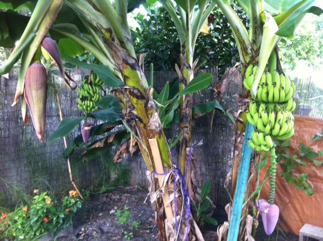 Банан рождается!
