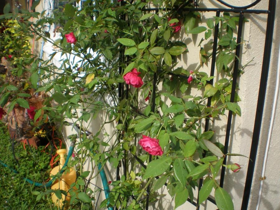 012-rose