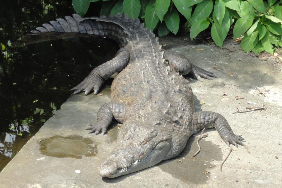 35-Crocodil florida5