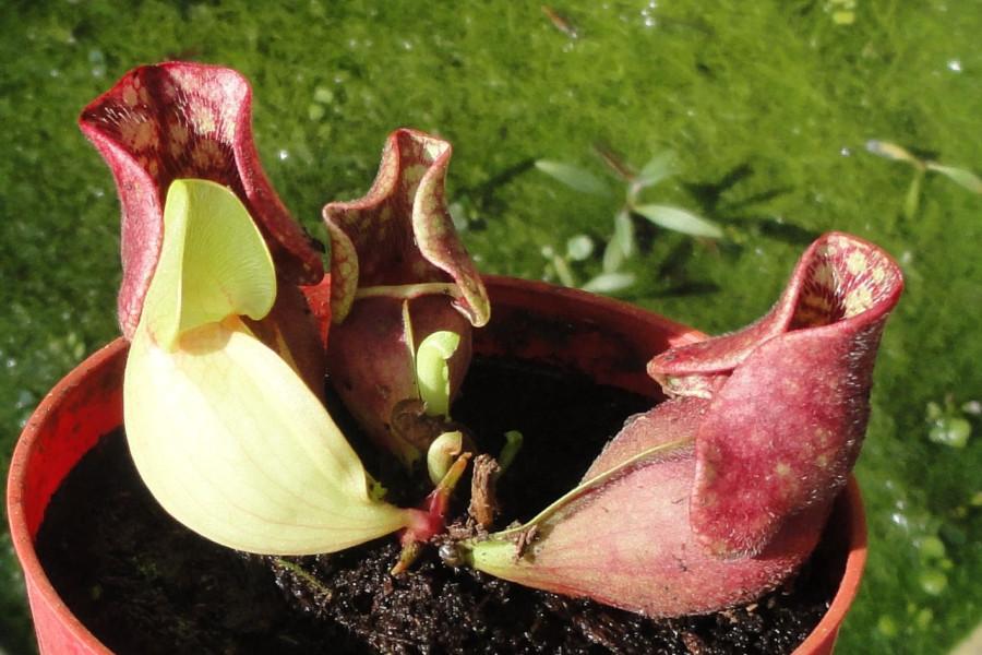 35-Carnivorous plant saracenia3