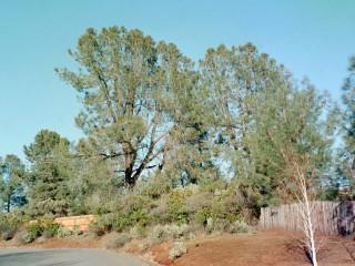Digger Pines