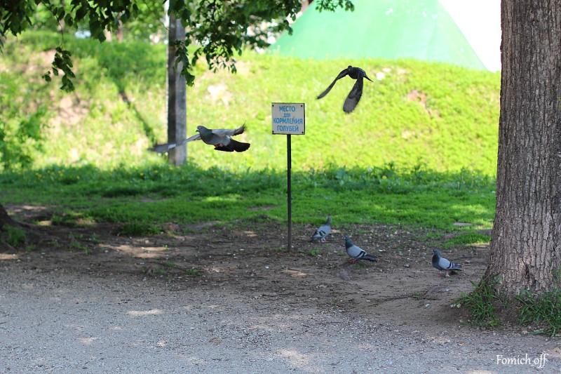 Кормление голубей