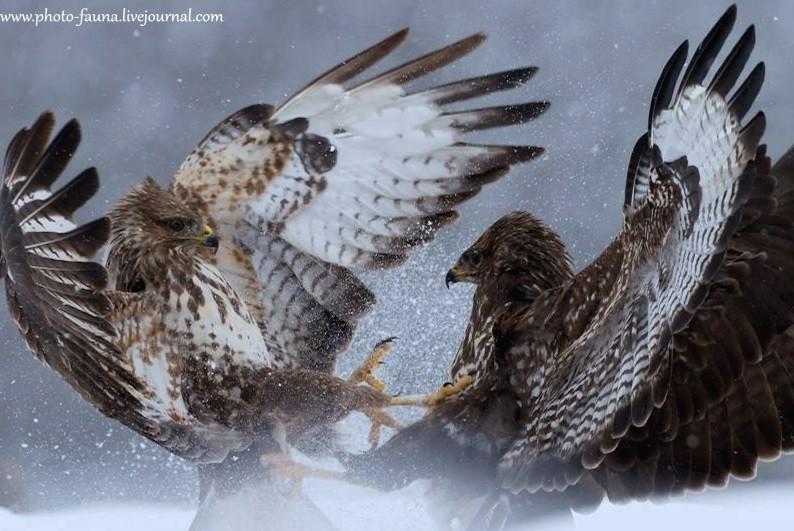 Столкновение орланов-белохвостов