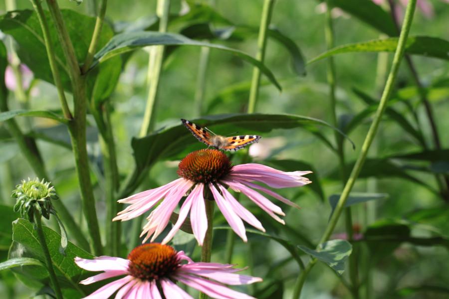 Эхинацея и бабочка (1)