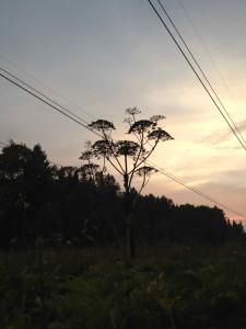 Борщевик - гигантское для наших мест растение