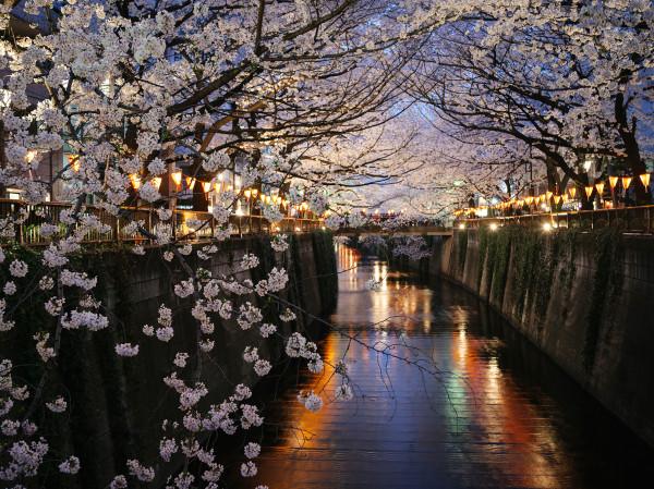 cherry-blossoms-nakameguro-c