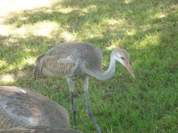 Sandhill Crane three and half months old 3
