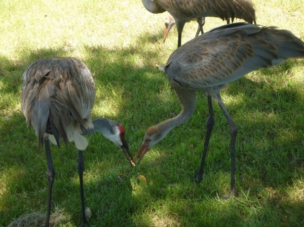 Sandhill Crane three and half months old 5