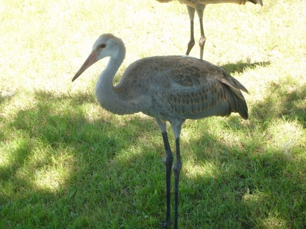 Sandhill Crane three and half months old 6
