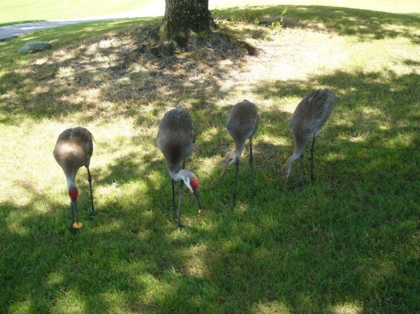 Sandhill Crane three and half months old 2