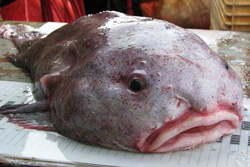 blobfish 1