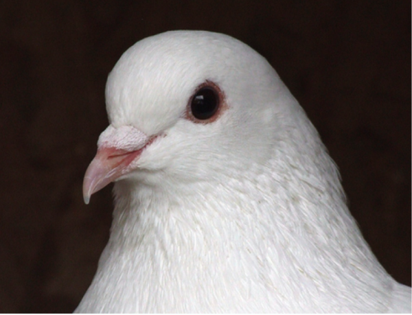Dove_eye