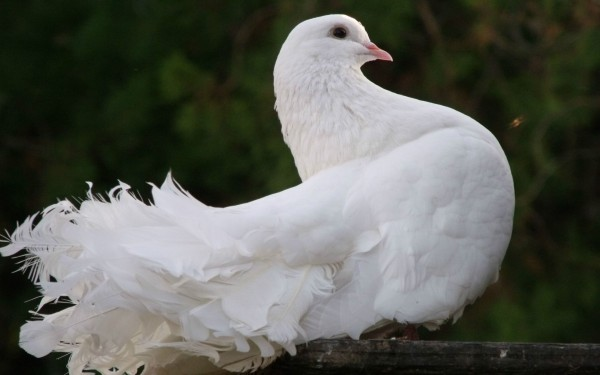 beautiful-white-dove