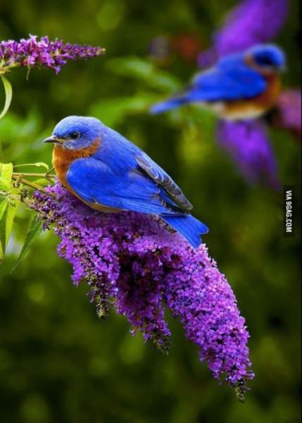 eastern-bluebird-2