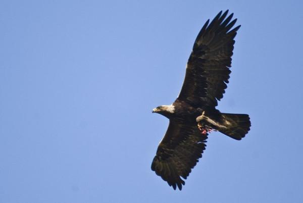 800px-Golden_Eagle_flying