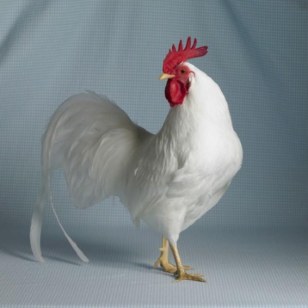 White Leghorn Bantam Cock-233