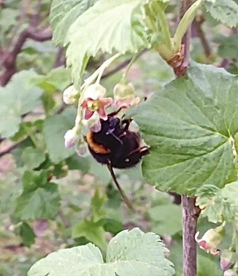 Пчела СЭ