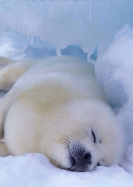 1-05-Arctic-seal.-Awe