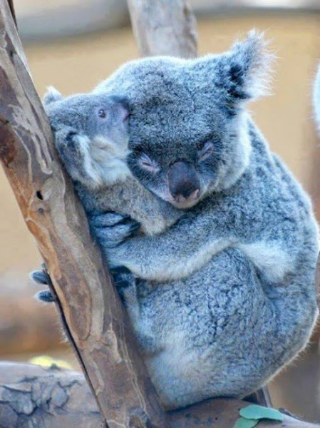 Koalas_sleep_cuddled_in_their_young_to_protect_them_at_all_times_mother_s_love_come_to_feel_is_the_same_as_humans_feel